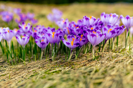 Crocus closeup over green grass, flowers landscape. Early spring in mountains with blurred background.