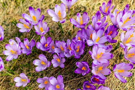 Crocus closeup from above, purple flowers background. Early spring in mountains with blooming flowers from top. Imagens