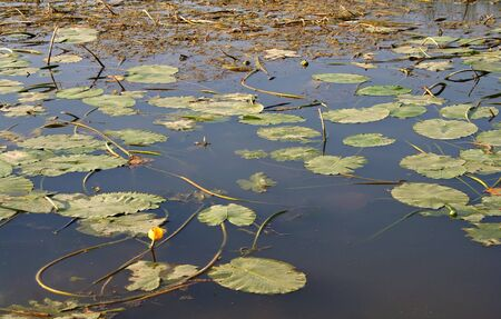 yellow water-lily - nuphar lutea
