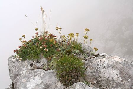 wild alpine flowers growing from the rock - Alps, Slovenia Stock Photo