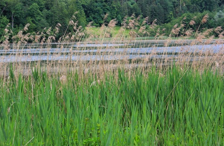 swampy: high grass meadow and water - swampy landscape