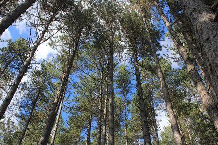 Skyward view of pine trees - Notranjska, Cerknica, Slovenia Stock Photo