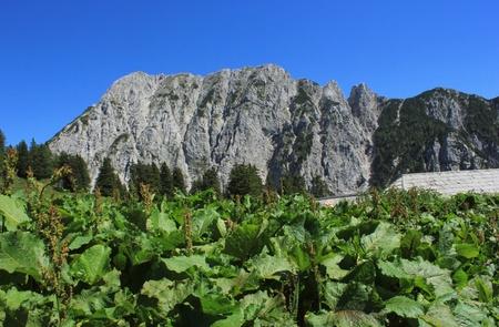Alpine landscape with monks rhubarb  rumex alpinus  plants, Alps, Slovenia
