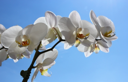 White orchid  Phalaenopsis amabilis  blossoms on blue sky background photo