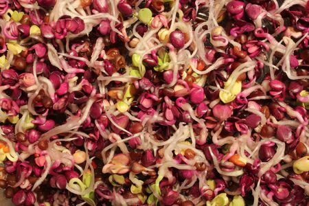 tasty and colorful radish sprouts - closeup view