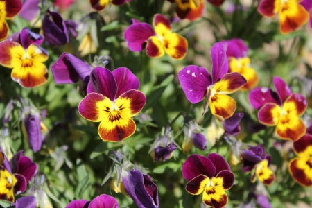 Garden pansy  Viola tricolor hortensis  flowers - closeup view Stock Photo