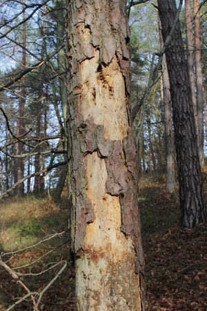 Diseased pine tree attacked by bark beetle Stock Photo
