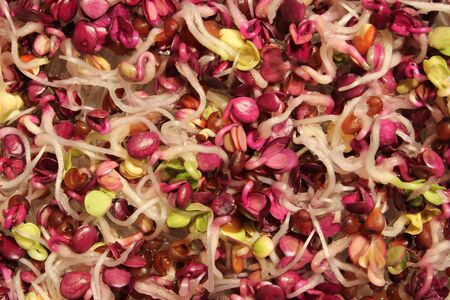 colorful and healthy radish sprouts - closeup view