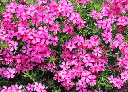 moss phlox  Phlox subulata  flowers photo