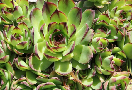 Green common houseleek  Sempervivum tectorum  rosette - closeup view photo