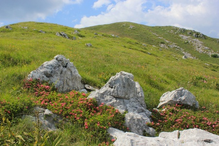 Great Laurel flowers  rhododendron  alpine pasture landscape on Mount Kobariski Stol, Julian Alps, Slovenia photo