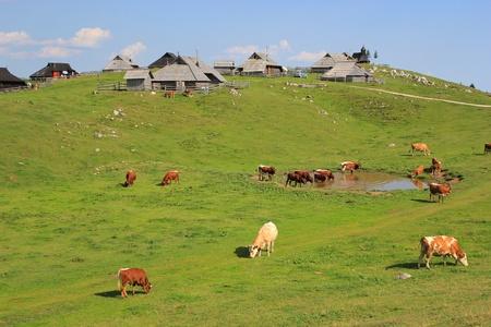 Alpine pasture - flock and herder