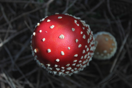 muscaria: Red-white fly agaric (Amanita muscaria) - top view