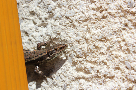 European or common wall lizard (Podarcis muralis) on the wall - close view