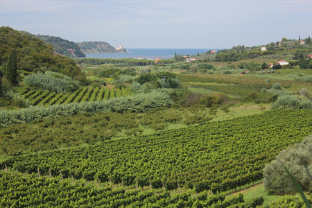 Vineyards and fruit trees landscape, Piran, Slovenia Stock Photo