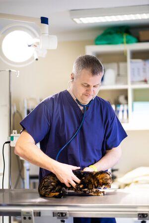 A veterinarian in an ambulance investigates a Bengali cat