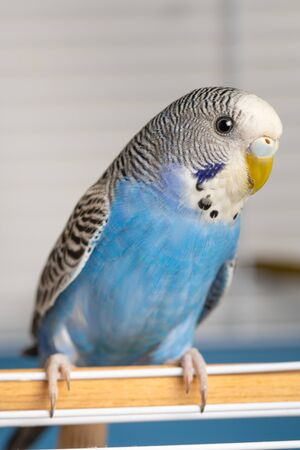 female blue budgies on the right side of the image with space for text