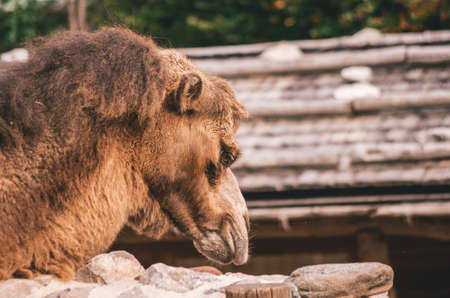 Camel roaming in a zoo