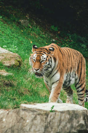 Bengal striped tiger in a zoo