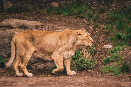 Female lion roaming  in a zoo 版權商用圖片