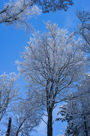 Winter snowy tree in a forest low angle clear blue sky in the background