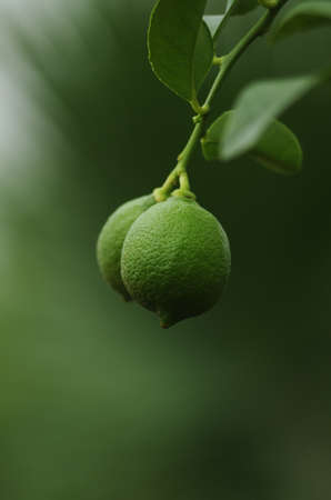 Green unripe lemon hanging from a tree branch close up shot isolated against shallow depth of field green 2020