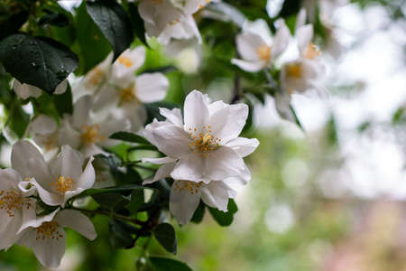 Jasmine bush branch with blooming white flowers isolated with shallow depth of field bubble bokeh background 2020