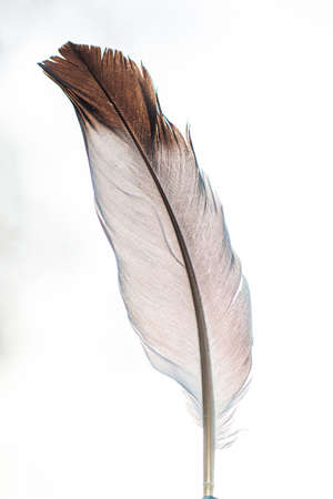 Small pigeon feather macro close up shot shallow depth of field isolated on white background.