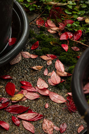 Autumnal red leaves on the ground near potted plant garden shot