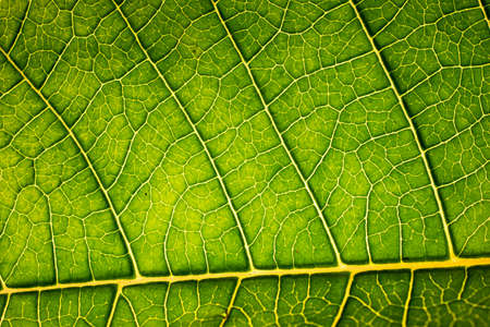Green leaf and veins extreme macro close up horizontal top view backlit.