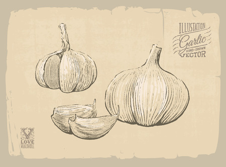 old fashioned vegetables: Vector handdrawn illustration of garlic Illustration
