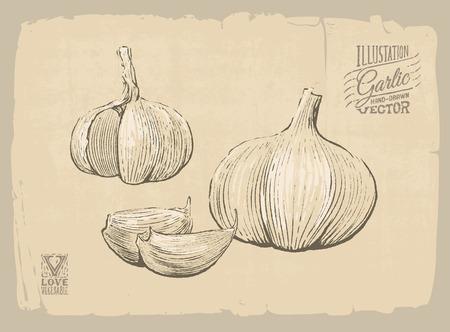 Vector handgetekende illustratie van knoflook