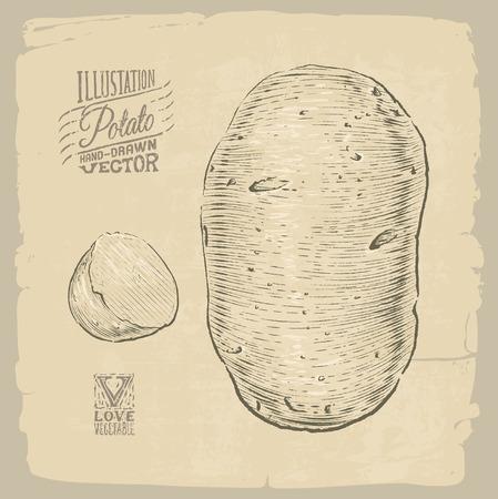 potato plant: Vector handdrawn illustration of potato