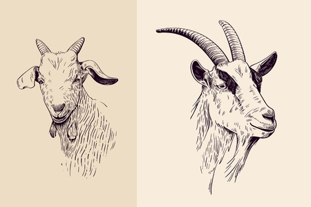 goat head: goat, hand drawn illustration, portrait