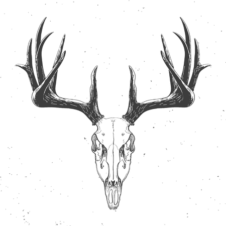 animal skull: deer skull on white,  vintage illustration