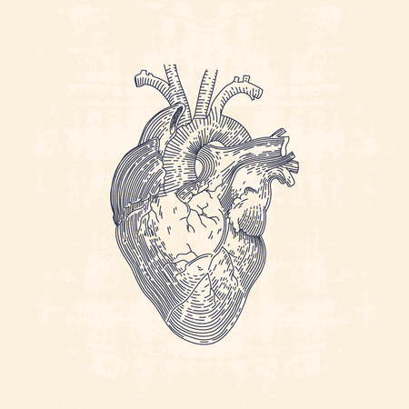 Vintage line drawing illustration of human heart