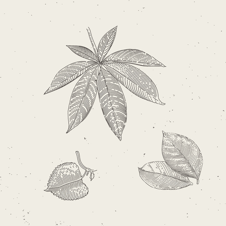 Hand drawn vintage illustrations of leafs