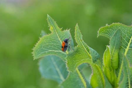 Ant sack beetle on green leaf against green background