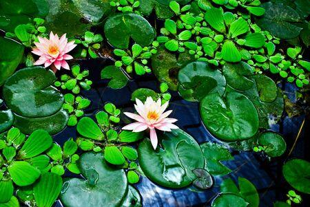 Blooming lotuses in habitat with fresh green leaves.