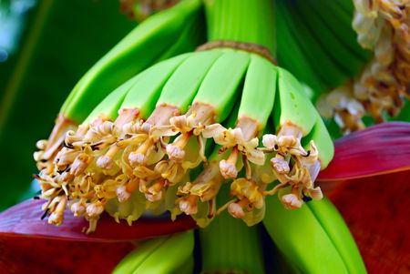 Blooming flowers of the bananas tree. Maturing fruits. photo