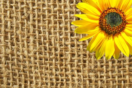 sackcloth: A sunflower on the sackcloth background.  Stock Photo