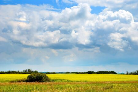 agricultura: A golden canola field at the perspective Stock Photo