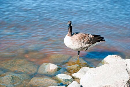 Canadian loon staying on one leg on a shore Banco de Imagens