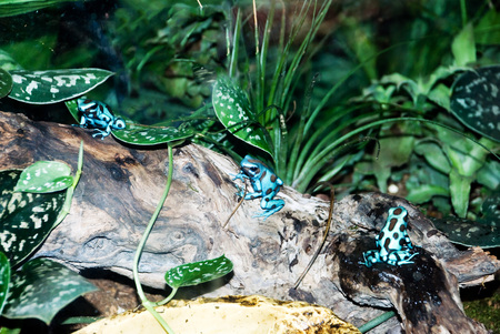 Blue baby frogs sitting in the group on a tree trunk