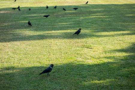 crows in the grass 写真素材
