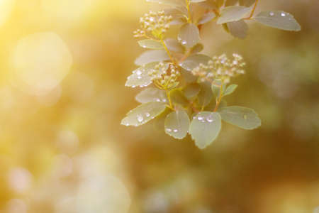 Young spring leaves with rain drops in sun flare background