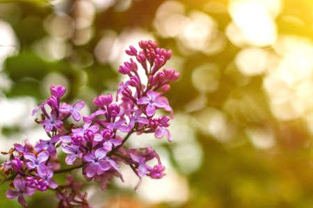 Lila lila Blumen schließen sich mit Sonnenstrahlen und Bokeh-Frühlings- oder Sommerhintergrund an