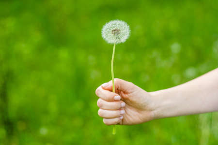 Lovely summer picture of a female hand holding dandelion against grass sunny background Stockfoto