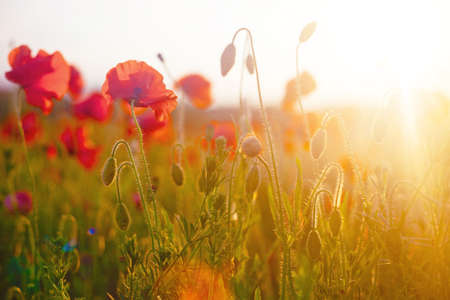 Beautiful blooming poppies in the summer sunset light. Sunny flower field picturesque landscape.