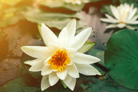 Beautiful white lotus with green leaves blooming on the surface of pond. Water lily close up.